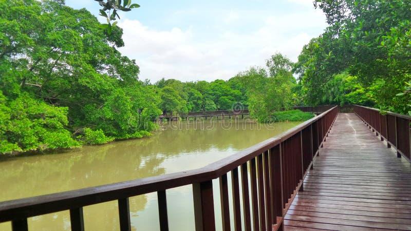 Long woonden walk way bridge in mangrove green at Bangkrachao area. Long woonden walk way bridge in mangrove green in Samutprakarn Province Thailand . Bridge royalty free stock photography