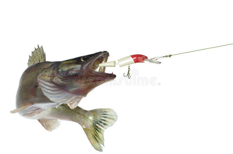 Long zander and bait stock photography