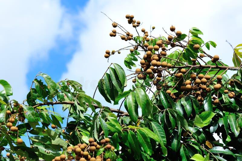 Longan στο πράσινο δέντρο στοκ φωτογραφία με δικαίωμα ελεύθερης χρήσης