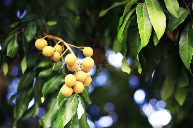 Longan φρέσκο στο longan κήπο δέντρων στοκ εικόνες με δικαίωμα ελεύθερης χρήσης