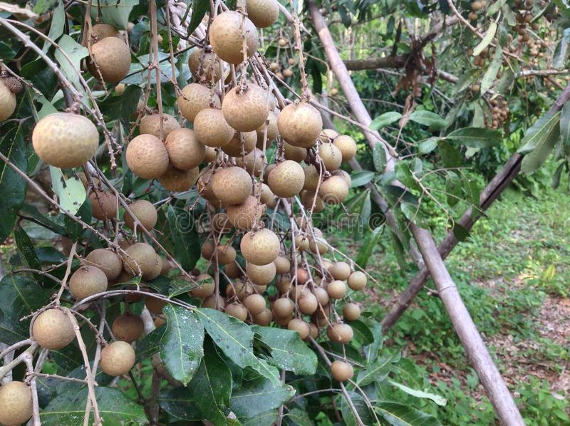 Longan photos stock