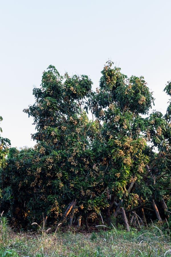 Longan drzewa obrazy stock