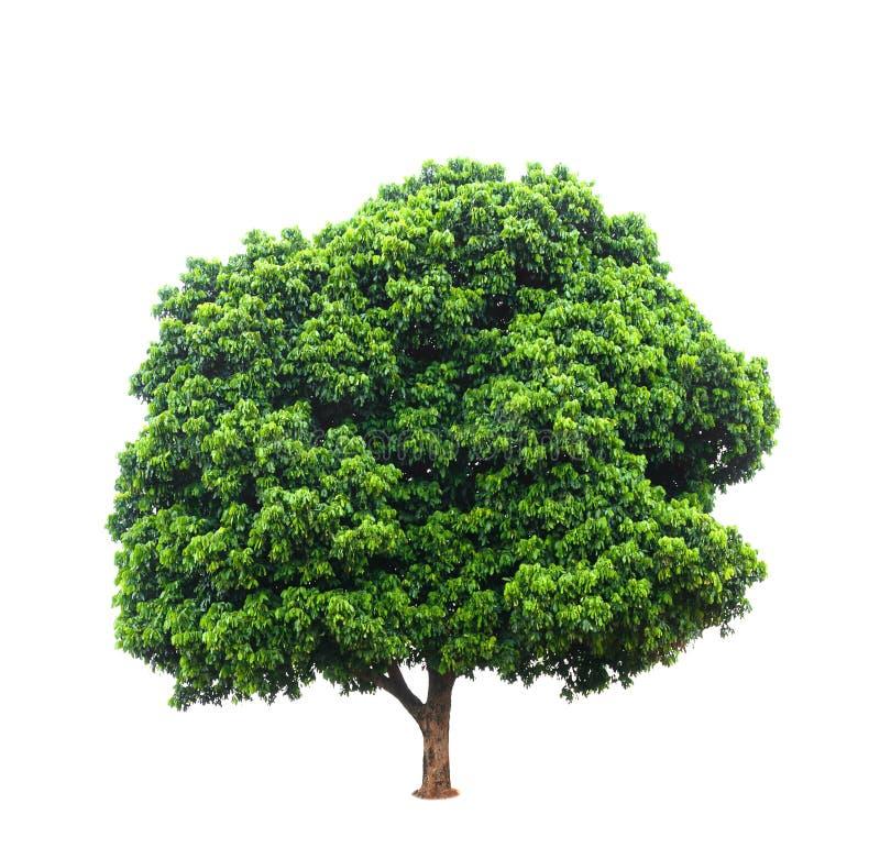 Longan drzewa odizolowywający na bielu fotografia royalty free