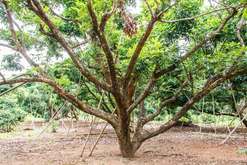 Longan drzewa w sadzie obraz royalty free