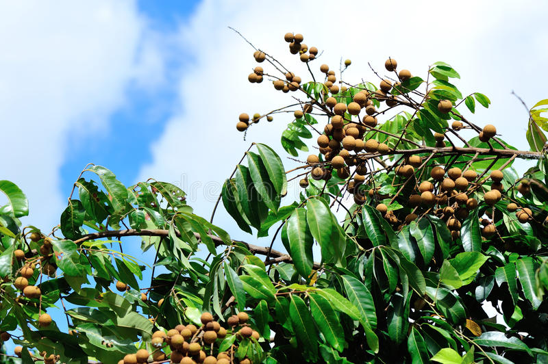 Download Longan on the green tree stock image. Image of isolated - 32351005