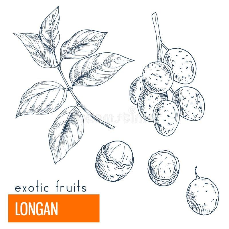 Longan Hand gezeichnete vektorabbildung lizenzfreie abbildung