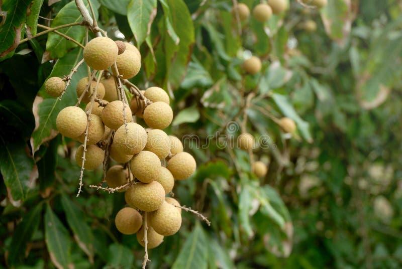 Longanfrukt på träd arkivbild