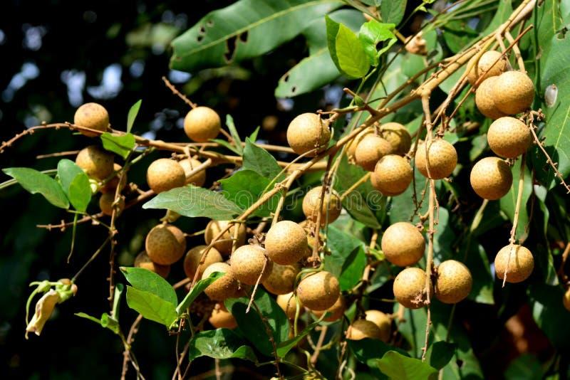 Longanfruktträdet - nära släkting för litchiplommon royaltyfri foto