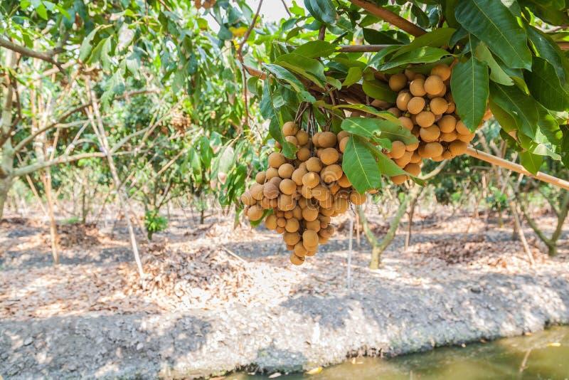 Longanfruktträdgårdar - longan för tropiska frukter arkivfoton