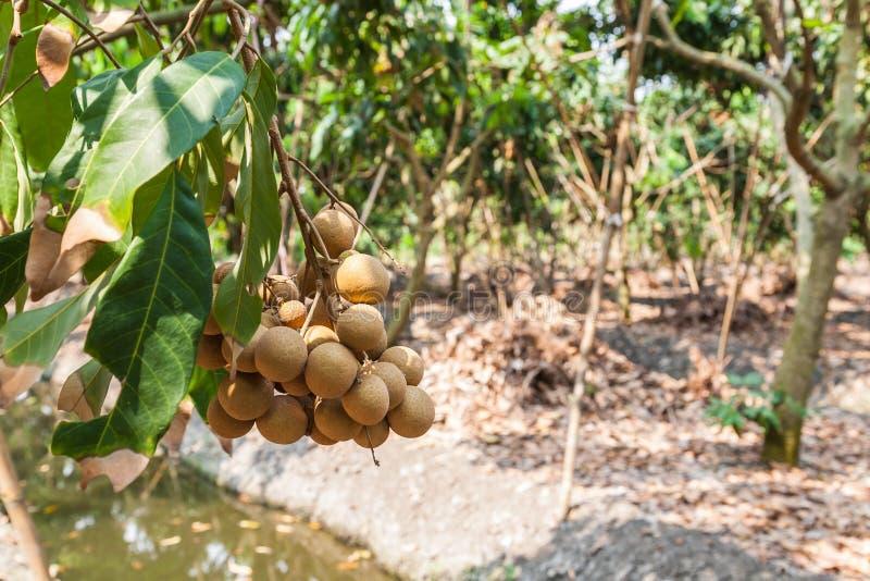 Longanfruktträdgårdar - longan för tropiska frukter royaltyfria foton