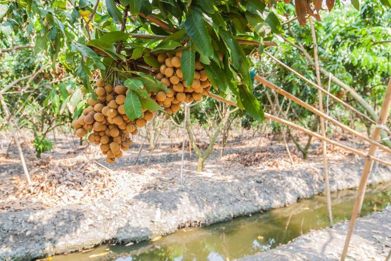 Longanfruktträdgårdar - longan för tropiska frukter royaltyfria bilder