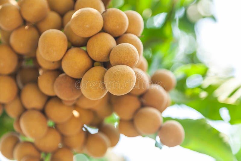 Longanfruktträdgårdar - longan för tropiska frukter royaltyfri foto