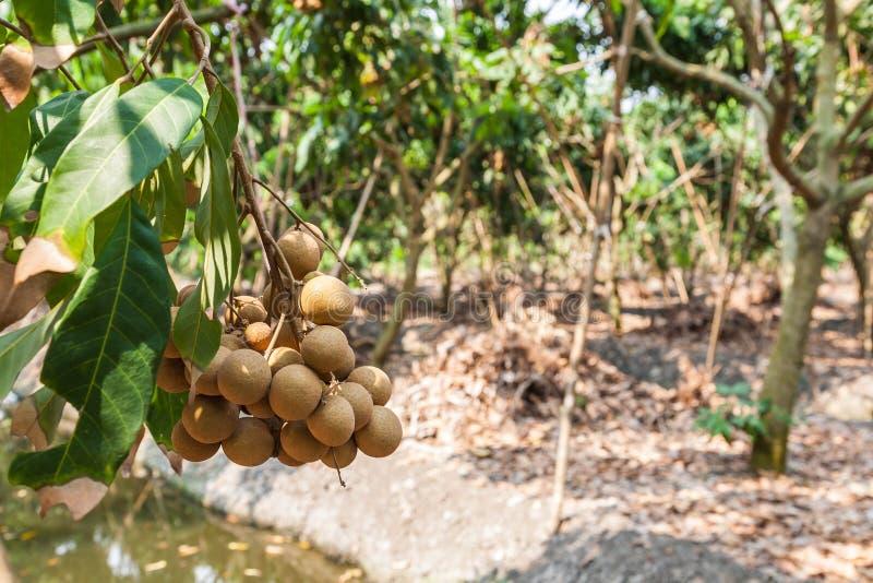 Longanfruktträdgårdar - longan för tropiska frukter royaltyfri fotografi