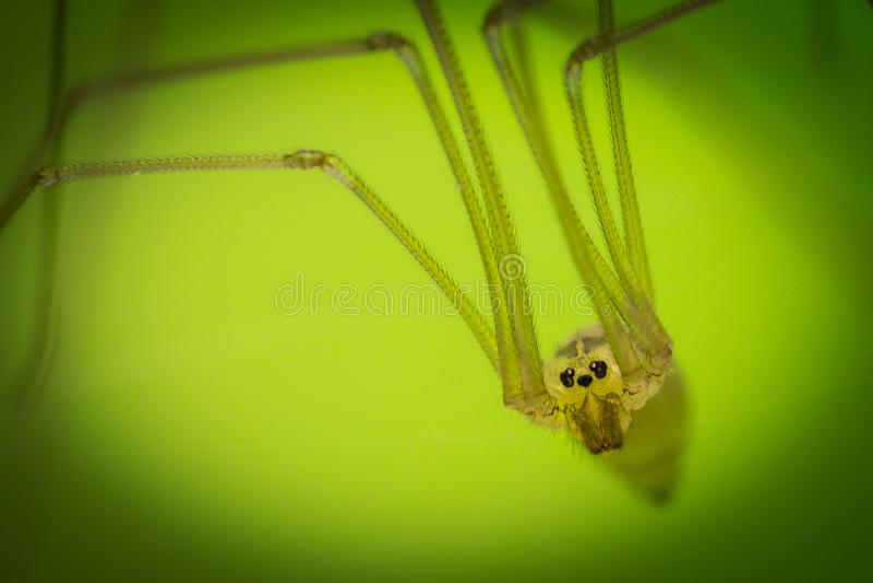 Longbodied地窖蜘蛛Pholcus phalangioides 免版税库存照片