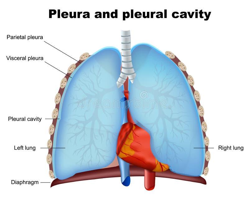 Longborstvlies en borstvliesholte medische illustratie op witte achtergrond royalty-vrije illustratie