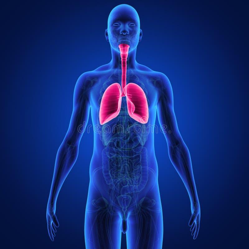longen vector illustratie