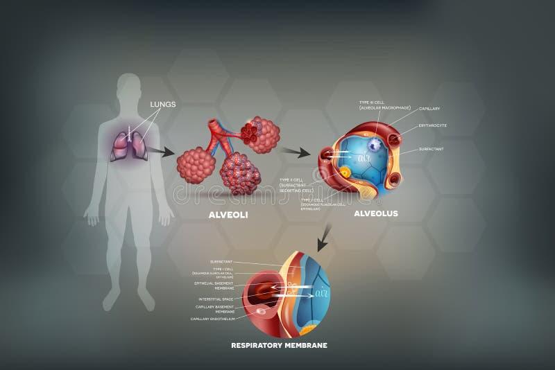 Longen en alveolen vector illustratie