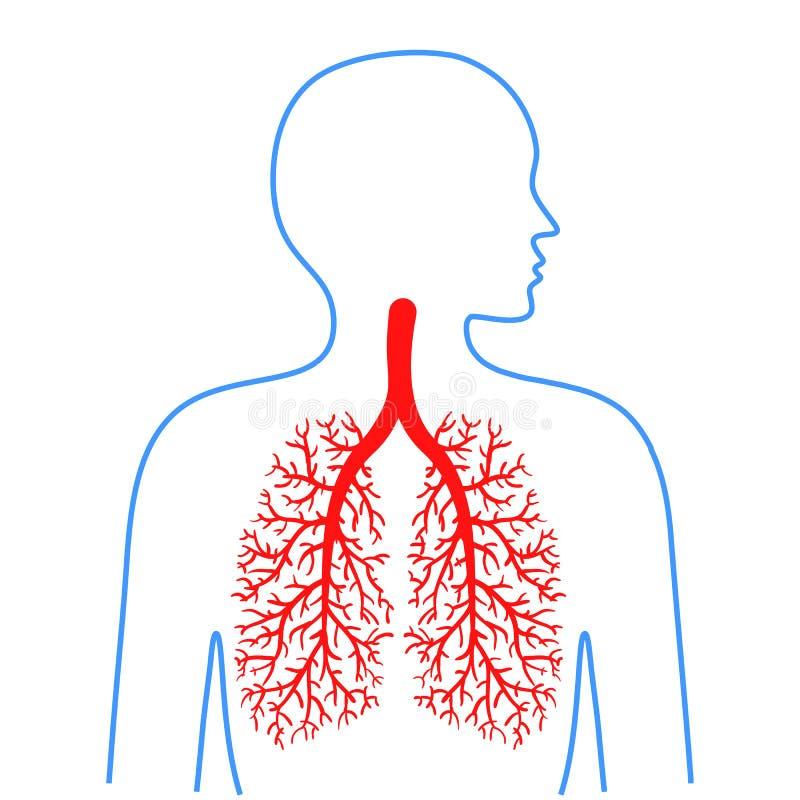 Longen en bronchiën, menselijk ademhalingssysteem Geneeskunde en gezondheid Vector graphhics stock illustratie