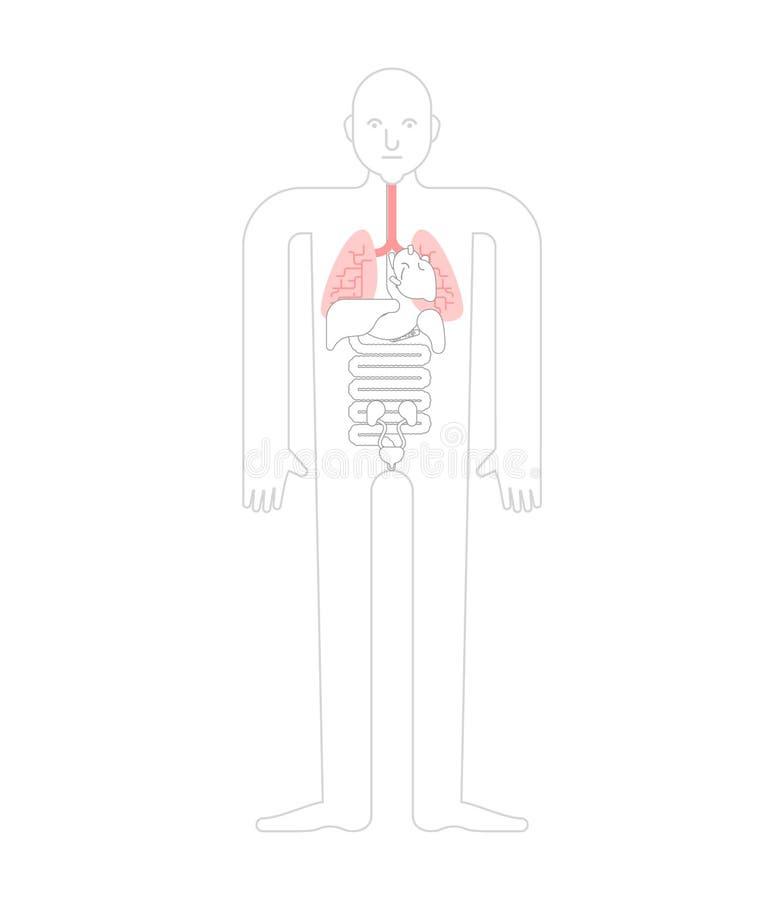Longen Menselijke anatomie Maagdarmkanaal Interne organen Sys royalty-vrije illustratie