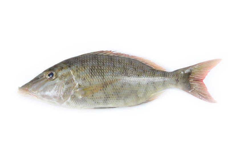 Download Longface fish stock image. Image of seafood, food, human - 25086117