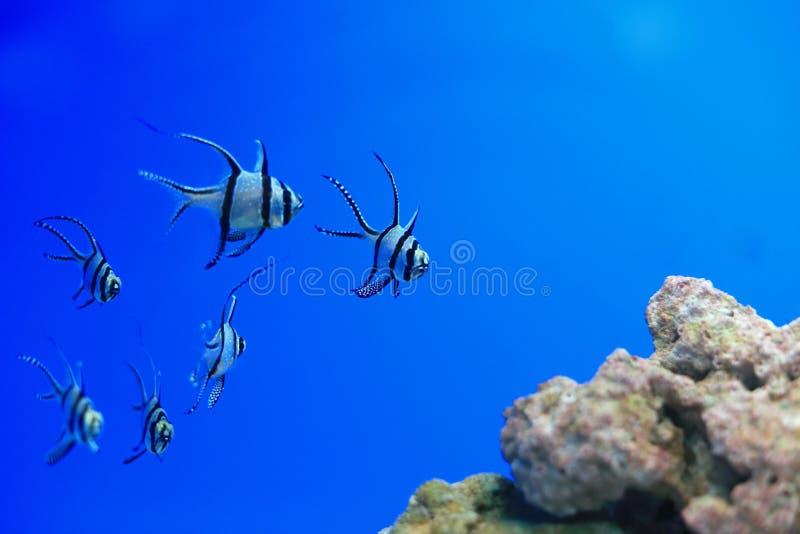 Longfin深红鱼 库存照片