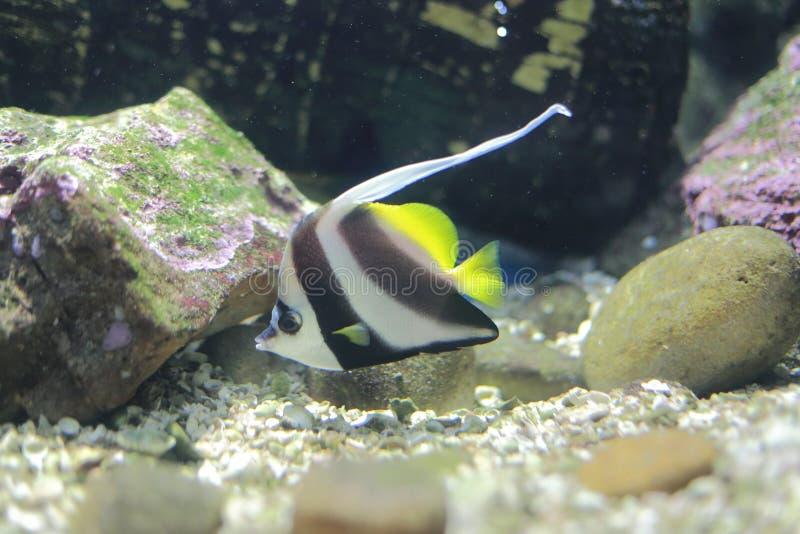 Longfin Bannerfish fotos de archivo