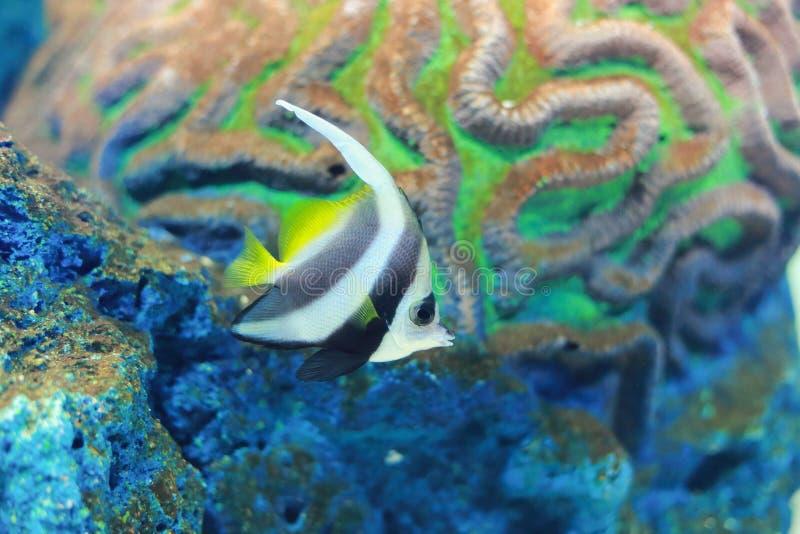 Longfin Bannerfish foto de archivo