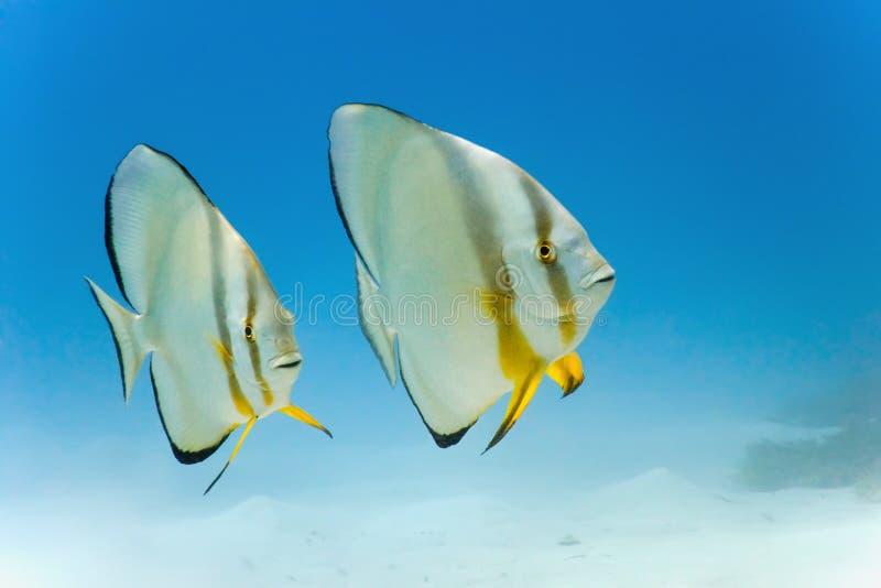 Longfin batfish royalty-vrije stock fotografie