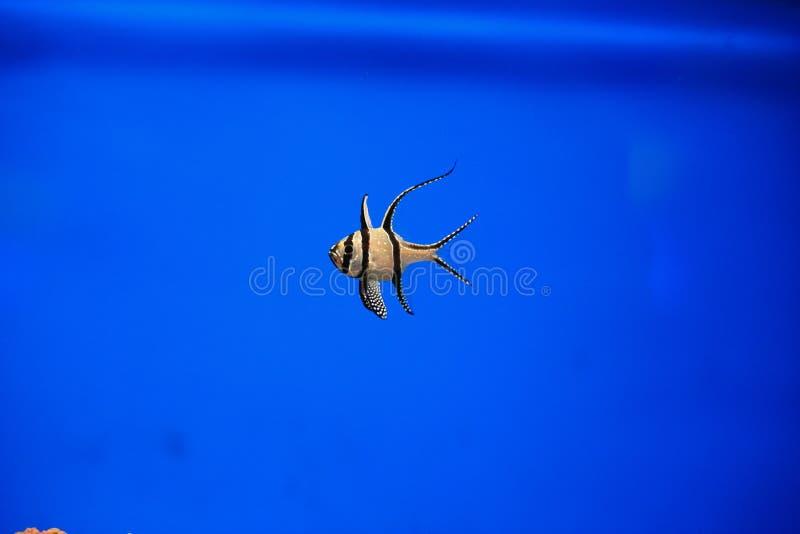 Longfin cardinalfish fotografering för bildbyråer