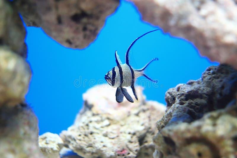Longfin cardinalfish arkivbilder