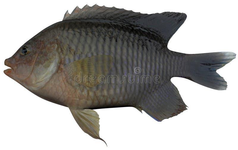 Longfin Damselfish arkivbild