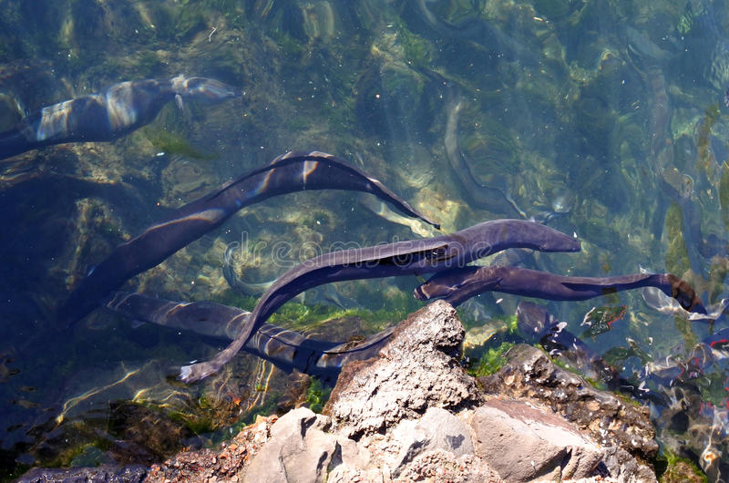 Longfin Eels. Swim in the waters of Western Springs park in Auckland, New Zealand royalty free stock image