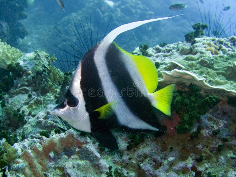 longfin för acu-bannerfishheniouchus arkivbilder