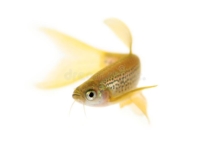 Longfin Leopard Danio Rerio Barb freshwater aquarium fish. Isolated on white royalty free stock image