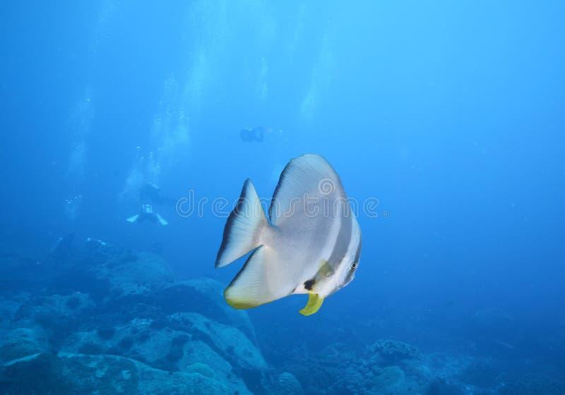 Longfin Spadefish obrazy royalty free