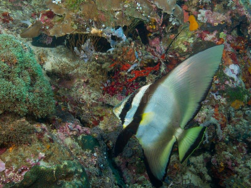 Longfin spadefish Menjangan Island 02. Sub-adult longfin spadefish on the reef wall at Menjangan Island, Bali stock photography
