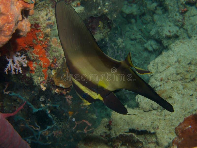 Longfin spadefish Menjangan Island 01. Sub-adult longfin spadefish sheltering in an overhang on the reef wall at Menjangan Island, Bali stock photo