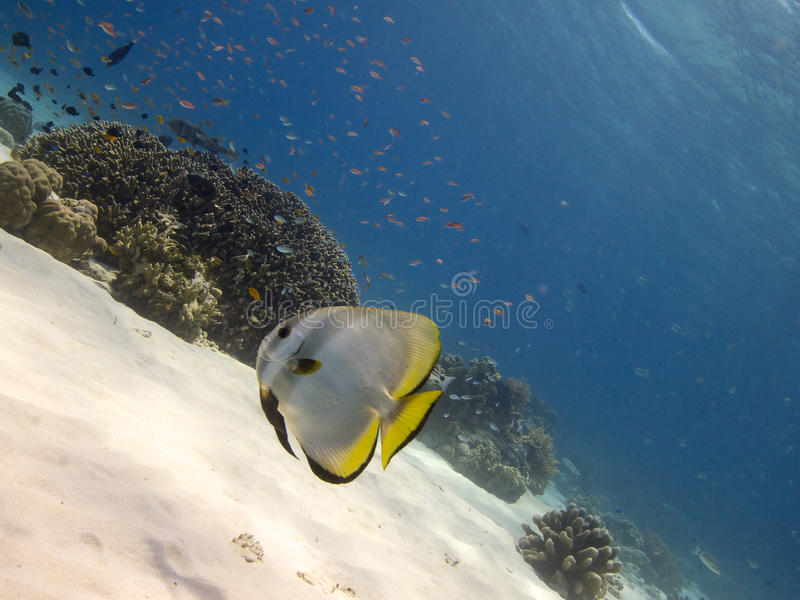 Longfin spadefish Menjangan Island 03. Wide-angle shot of a longfin spadefish swimming over sand, with clouds of Anthiinae in the background, near the reef top royalty free stock photography
