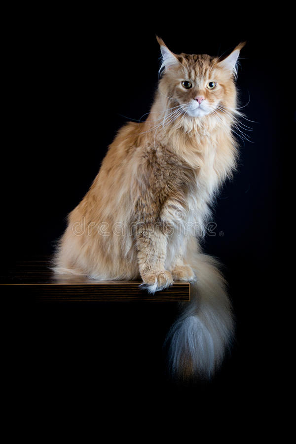 Longhair bruine kat die in camera kijken royalty-vrije stock fotografie