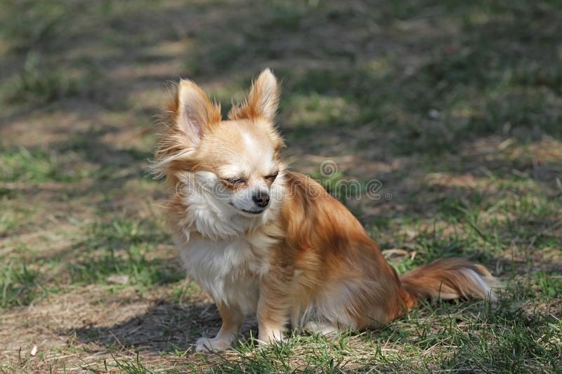 Long hair chihuahua dog. Longhair Chihuahua dog in green spring grass. Golden Longhair chihuahua playing outdoor in the park. Nealthy dog with anti-parasitic stock photography