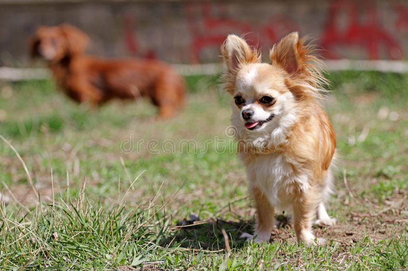 Long hair chihuahua dog. Longhair Chihuahua dog in green spring grass. Golden Longhair chihuahua playing outdoor in the park. Nealthy dog with anti-parasitic stock image