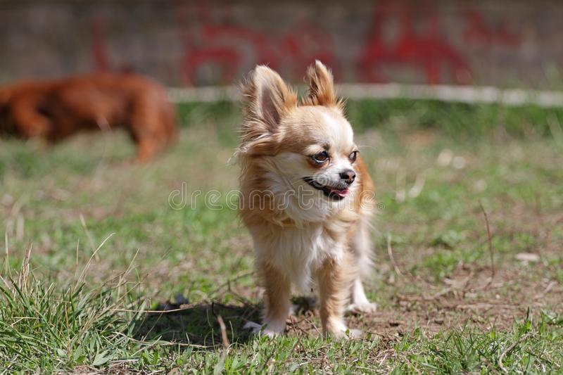 Long hair chihuahua dog. Longhair Chihuahua dog in green spring grass. Golden Longhair chihuahua playing outdoor in the park. Nealthy dog with anti-parasitic royalty free stock image