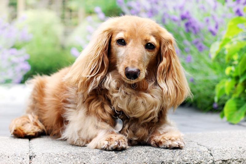 Longhair dachshund dog outside in summer. stock images