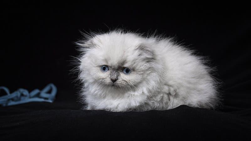 Longhair katt f?r skotskt veck p? kul?ra bakgrunder royaltyfria bilder