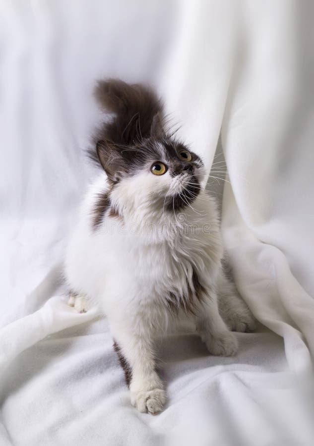 Longhair kitten stock images