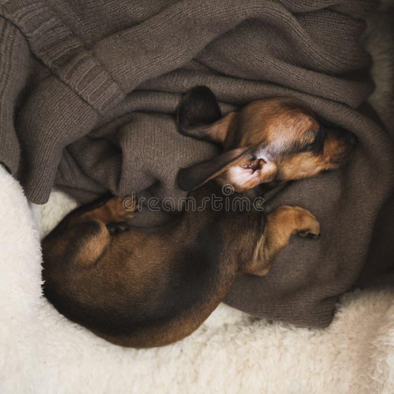 Longhair tekkelpuppy in slaap op een bed royalty-vrije stock afbeelding