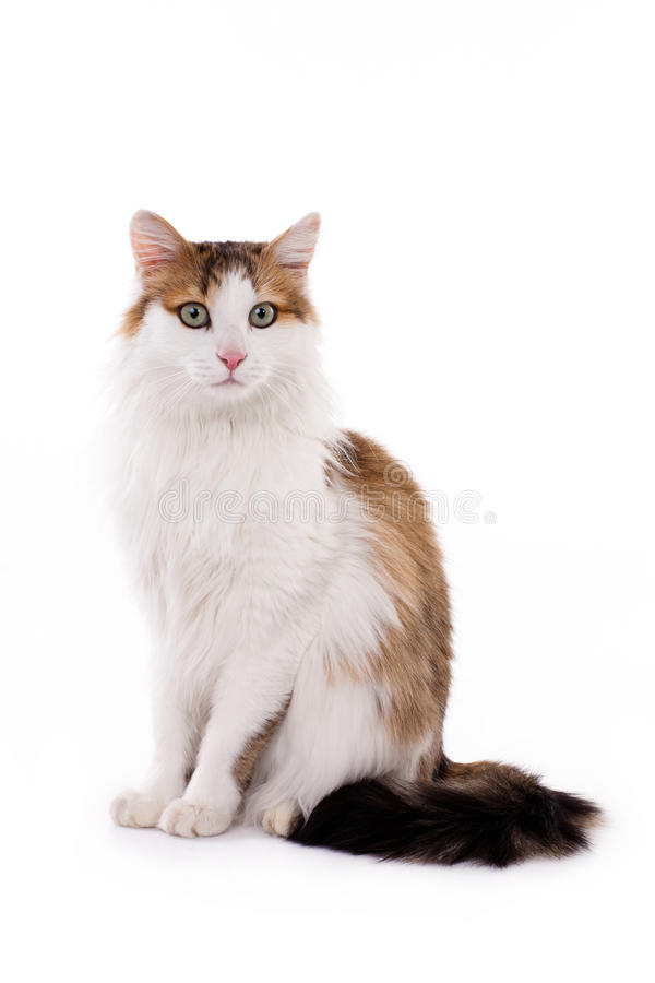 Longhaired housecat. Portrait against the white background stock image