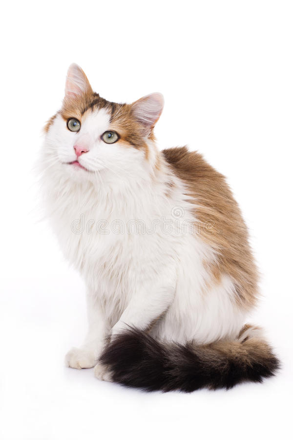 Longhaired housecat. Portrait against the white background stock images