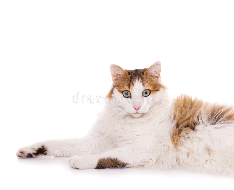 Longhaired housecat. Portrait against the white background royalty free stock photo