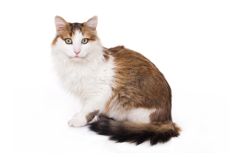 Longhaired housecat. Portrait against the white background stock photography